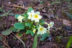 Yellow primula primrose flowers at spring garden stock images