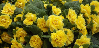 Yellow primula spring flowers. Yellow primula bouquet in garden Royalty Free Stock Image