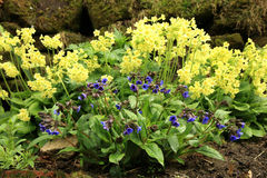 Yellow Primula Vulgaris and blue Lungwort Stock Photos