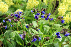 Yellow Primula Vulgaris and blue Lungwort Stock Photography