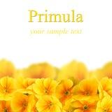 Yellow primula on a white background Stock Photos