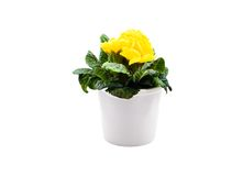 Yellow primula in white pot. Isolated over white background Royalty Free Stock Photos