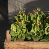 Yellow Primula Royalty Free Stock Image
