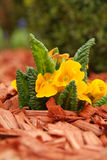 Yellow primulas (Primula hortensis) Royalty Free Stock Images
