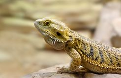 Yellow profile iguana Royalty Free Stock Image