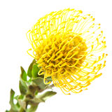Yellow protea Stock Images