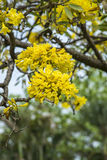 Yellow pu tree in park, bangkok Stock Images
