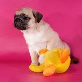 Yellow pug puppy sitting on pink Stock Images