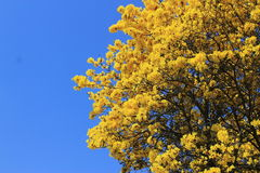 Yellow pui. Yellow flower sky Royalty Free Stock Image