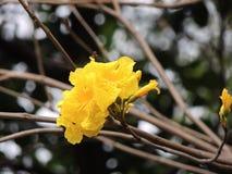 Yellow-Pui Tabebuia-chrysantha. Photo at Nam-cheong park in Hongkong Stock Image