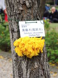 Yellow-Pui Tabebuia-chrysantha Stock Photography