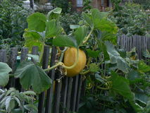 Yellow pumkin with leaves on a fence Stock Photo