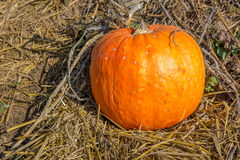 Yellow pumpkin. Big pumpkin on the straw in the farm Royalty Free Stock Photo
