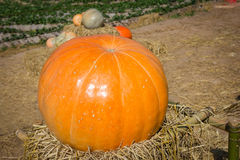 Yellow pumpkin. Big pumpkin on the straw in the farm Stock Photos