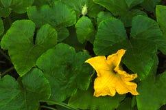 Yellow pumpkin flower Stock Photography