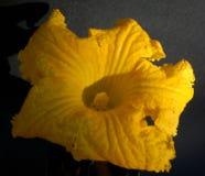 Yellow Pumpkin Flower on black backgroung. Yellow pumpkin flower in the morning sun on a black background. bright close-up flower stock photos
