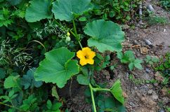 Yellow pumpkin flower Royalty Free Stock Images