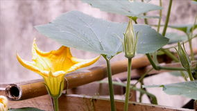 Yellow pumpkin flower and leaf stock video footage