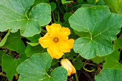 Yellow pumpkin flowers Stock Photography