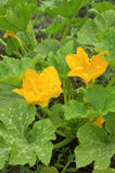 Yellow pumpkin flowers Royalty Free Stock Images