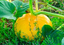 Yellow pumpkin in a garden Stock Images
