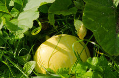 Yellow pumpkin. Natural ecologic food Stock Images