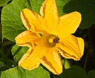 Yellow pumpkin squash blossom with a bumble bee Stock Photography