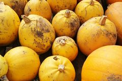 Yellow pumpkins freshly harvested Royalty Free Stock Photos