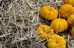 Yellow pumpkins on straw. Royalty Free Stock Photo