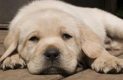 Yellow puppy Royalty Free Stock Photos