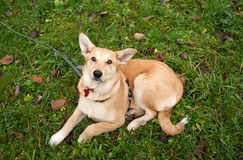 Yellow puppy on leash lying on grass Stock Photography