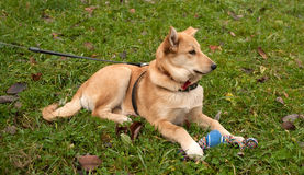 Yellow puppy on leash lying on grass Stock Image