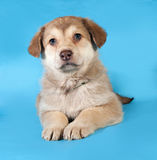 Yellow puppy lying on blue Royalty Free Stock Photos