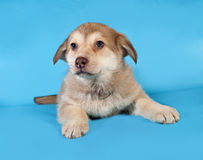 Yellow puppy lying on blue Royalty Free Stock Image