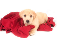 Yellow puppy and red blanket Royalty Free Stock Photography