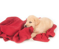 Yellow puppy and red blanket Stock Photography