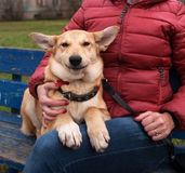 Yellow puppy sits and smiling on bench next to hostess Royalty Free Stock Photos