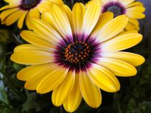 Yellow and purple African daisy flowers in the green plant leaves stock photos