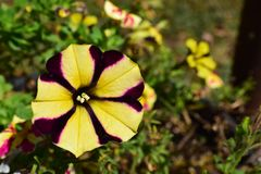 Yellow and Purple burst of color with a petunia flower bloom. Purple burst of color with a petunia flower bloom in Spring stock image