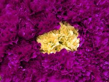 Yellow and purple carnation flowers in a floral arrangement, background and texture. Nature and botany, flora and natural life, flower petals with intense colors royalty free stock photos