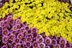 Yellow and purple Chrysanthemum Stock Photography