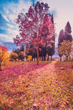 Yellow and purple colorful leaves autumn colors in the park outdoor with tree and sun ray Stock Image