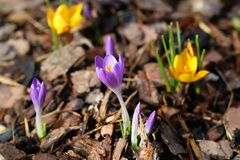 Yellow and purple crocus blossom, close-up crocus royalty free stock images