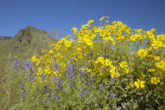 Yellow and purple desert flowers Royalty Free Stock Images