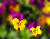 Yellow Purple Flower Royalty Free Stock Photos