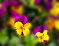 Yellow Purple Flower royalty free stock photos