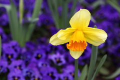 Yellow and purple flowers Stock Images
