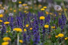 Yellow dandelions and purple flowers field. Colorful spring landscape. Nature wild meadow flowers background. Yellow dandelions and purple flowers field for stock images