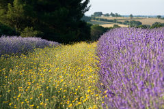 Yellow and purple in France Stock Image