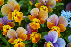 Yellow-purple garden pansies Stock Images